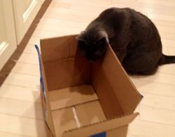 Mia the Cat with a moving box